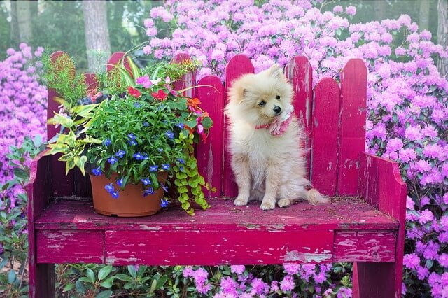 pomeranian on bench