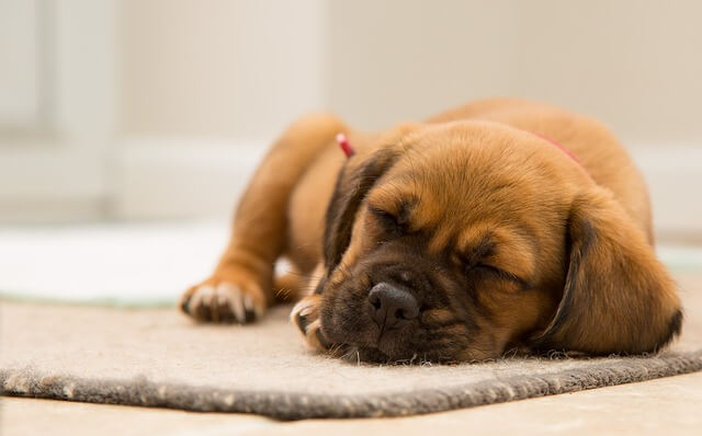 puppy sleeping on carpet