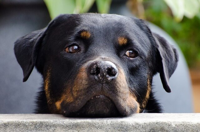 rottweiler leaning on wall