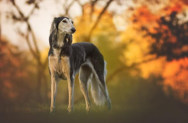 saluki in autumn