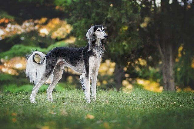 saluki in nature
