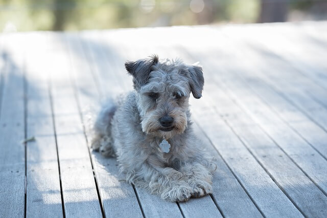 schnoodle on deck