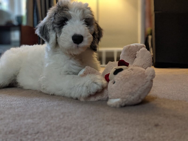 sheepadoodle with a toy