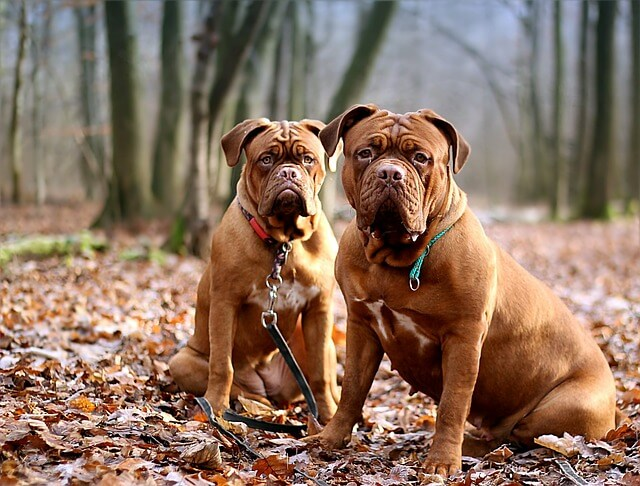 two dogue de bordeaux dogs
