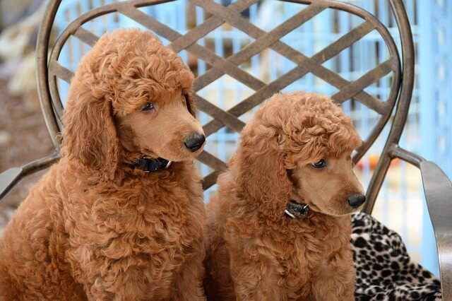 two standard poodle pupies