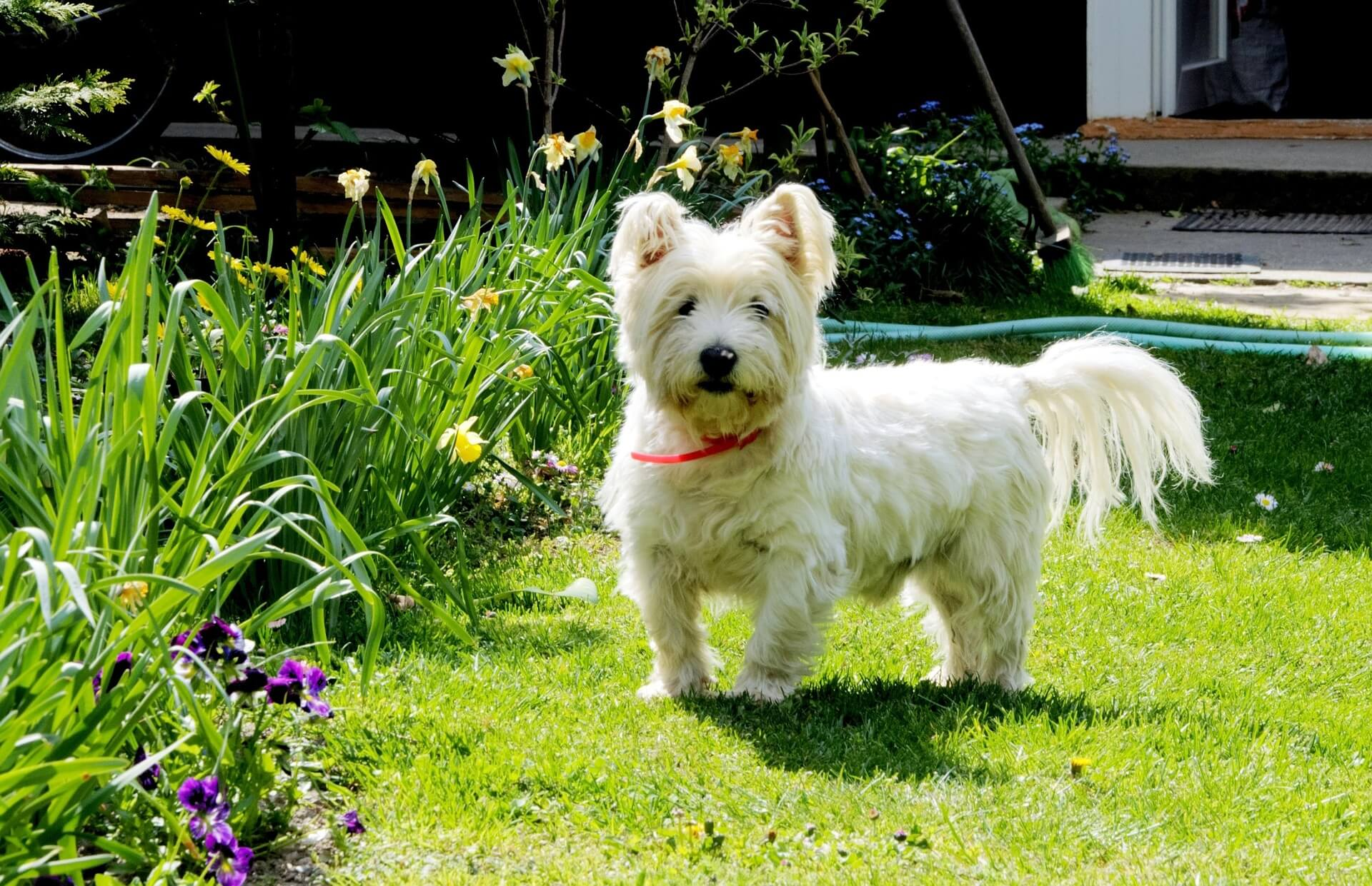 westie dog in nature