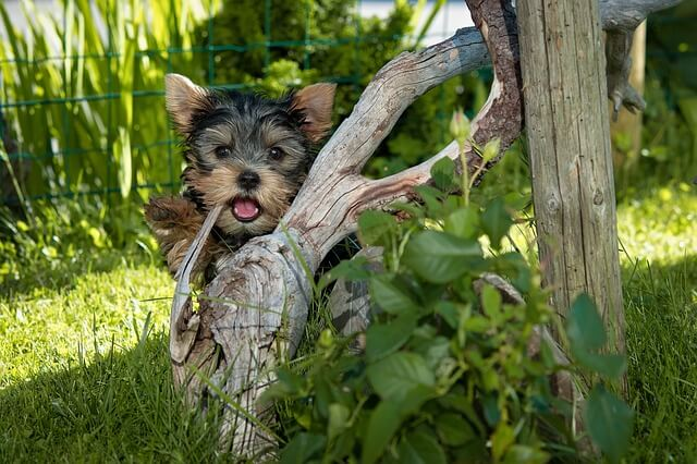 yorkie puppy playing